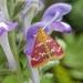 Raspberry Pyrausta Moth - Photo (c) Paweł Pieluszyński, some rights reserved (CC BY-NC)