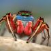 Habronattus americanus - Photo (c) Thomas Shahan, algunos derechos reservados (CC BY-NC-ND)