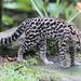 Tigrillo - Photo (c) leithallb, algunos derechos reservados (CC BY-NC)