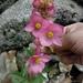 Begonia angustiloba - Photo (c) Dante S. Figueroa, algunos derechos reservados (CC BY-SA)