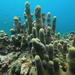 Coral Pilar - Photo (c) smmcdonald, algunos derechos reservados (CC BY-NC)