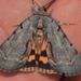 Catocala grynea - Photo (c) Wayne Fidler, algunos derechos reservados (CC BY-NC)
