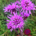 Rocky Mountain Blazing Star - Photo (c) Corey Lange, some rights reserved (CC BY-NC)