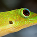 Day Geckos - Photo (c) d hutcheson, some rights reserved (CC BY-NC)