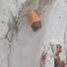 Loboschiza koenigiana