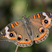 Common Buckeye - Photo (c) Edward Perry IV, some rights reserved (CC BY-NC)