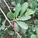 Erythroxylum monogynum - Photo (c) Kulbhushansingh Suryawanshi, algunos derechos reservados (CC BY-NC)