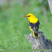 Indian Golden Oriole - Photo (c) Imran Shah, some rights reserved (CC BY-SA)