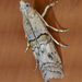 Zamagiria australella - Photo (c) Monica Krancevic,  זכויות יוצרים חלקיות (CC BY-NC)
