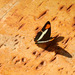 Adelpha falcipennis - Photo (c) Guillermo Debandi, algunos derechos reservados (CC BY-NC)