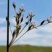 Juncus balticus - Photo (c) aarongunnar, μερικά δικαιώματα διατηρούνται (CC BY)