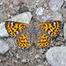 Mariposa Jaspeada Atigrada - Photo (c) Gregory Greene, algunos derechos reservados (CC BY-NC)