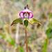 Disperis capensis - Photo (c) Gareth Williams, algunos derechos reservados (CC BY-NC-SA)