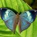 Kallima horsfieldii - Photo (c) Anil Kumar Verma,  זכויות יוצרים חלקיות (CC BY-NC)