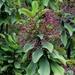 Euphorbia umbellata - Photo (c) Mauricio Mercadante, some rights reserved (CC BY-NC-SA)