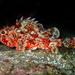 Scorpaena notata - Photo (c) Julien Renoult,  זכויות יוצרים חלקיות (CC BY)