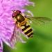 Epistrophe grossulariae - Photo (c) Denis Doucet, algunos derechos reservados (CC BY-NC)
