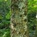 Betula alleghaniensis - Photo (c) Nathaniel Sharp, μερικά δικαιώματα διατηρούνται (CC BY-NC)