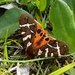 Opulent Tiger Moth - Photo (c) amstarr, some rights reserved (CC BY-NC)