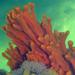 Clathria prolifera - Photo (c) Robin Gwen Agarwal,  זכויות יוצרים חלקיות (CC BY-NC)