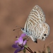 Mariposa Azul Marina - Photo (c) Anne Reeves, algunos derechos reservados (CC BY-ND)