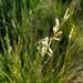 Ehrharta ramosa - Photo (c) adeletoua,  זכויות יוצרים חלקיות (CC BY-NC)