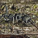 Myrmecia mandibularis - Photo (c) tjeales, some rights reserved (CC BY-NC)