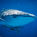 Whale Sharks - Photo (c) Oleg Khudoleev, some rights reserved (CC BY-NC)