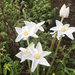 Brazos Rain-Lily - Photo (c) Nicholas Martinez, some rights reserved (CC BY-NC)