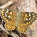 Aricoris incana - Photo (c) Rob Westerduijn, algunos derechos reservados (CC BY-NC)