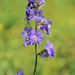 Polemonium caeruleum - Photo (c) Dmitry Ivanov, μερικά δικαιώματα διατηρούνται (CC BY-NC)