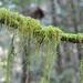 Pseudisothecium stoloniferum - Photo (c) Andrew Simon, algunos derechos reservados (CC BY-NC)