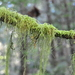 Cat's Tail Moss - Photo (c) Andrew Simon, some rights reserved (CC BY-NC)