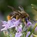 Xylocopa cantabrita - Photo (c) q_ilex, algunos derechos reservados (CC BY-NC-ND)
