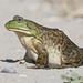 Αμερικανικός Βουβαλοβάτραχος - Photo (c) bubbacho, μερικά δικαιώματα διατηρούνται (CC BY-NC)