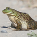 American Bullfrog - Photo (c) bubbacho, some rights reserved (CC BY-NC)