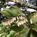 Lyonia ovalifolia - Photo (c) jodyhsieh, osa oikeuksista pidätetään (CC BY-NC)