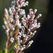 Spatalla racemosa - Photo (c) magriet b, algunos derechos reservados (CC BY-SA)