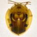 Eurypepla brevilineata - Photo (c) Francisco Acosta, algunos derechos reservados (CC BY-NC)