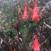 Fuchsia pringsheimii - Photo (c) fiddlebugg, osa oikeuksista pidätetään (CC BY-NC)