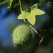 Wild Cucumber - Photo (c) Eve Fraser-Corp, some rights reserved (CC BY-NC)