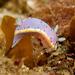 Goniobranchus woodwardae - Photo (c) Erik Schlogl, μερικά δικαιώματα διατηρούνται (CC BY-NC)