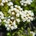 Ozothamnus leptophyllus - Photo (c) Melissa Hutchison, algunos derechos reservados (CC BY-NC-ND)