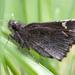 Amblyscirtes - Photo (c) Chris Wood, algunos derechos reservados (CC BY-NC-ND)