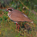 Bronze-winged Courser - Photo (c) Ian White, some rights reserved (CC BY-ND)