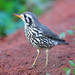 Groundscraper Thrush - Photo (c) Ian White, some rights reserved (CC BY-ND)