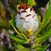 Protea speciosa - Photo (c) Gareth Williams, algunos derechos reservados (CC BY-NC-SA)