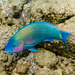Palenose Parrotfish - Photo (c) Ken-ichi Ueda, some rights reserved (CC BY)