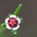 Euphorbia polyphylla - Photo (c) Mary Keim,  זכויות יוצרים חלקיות (CC BY-NC-SA)