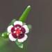 Euphorbia polyphylla - Photo (c) Mary Keim, osa oikeuksista pidätetään (CC BY-NC-SA)